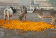 Coronavirus Lockdown Reduces Flowers To Cattle Feed, Thousands In Floriculture Hit Hard