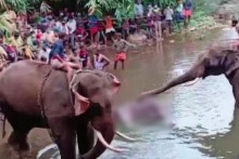 One Suspect Arrested In Kerala Pregnant Elephant Killing Case