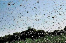 'Ferocious' Young Locusts Have Entered India This Time, And They Are A Bigger Threat