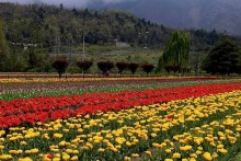 Paradise Lost! Kashmir's Tulips In Full Bloom But Where Have The Tourists Gone?