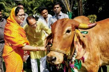 Cow Cabinet, Cow Milk Instead Of Eggs For Anganwadis, But What About The Cow Sanctuary?