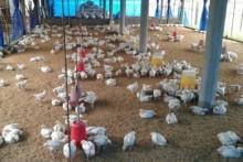 Bird Flu: North Delhi Bans Chicken From Shops, Restaurants