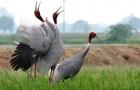 Sarus cranes in a rice field in Etawah, western UP