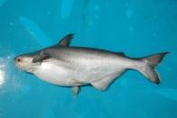 Scaly Tales: It Was Said To Swim