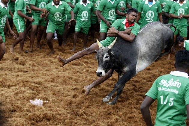 Jallikattu Ban Strikes At Root Of Local Economy Nurturing Super-Healthy Indigenous Breeds Of Bull