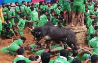 Jallikattu: By The Thevars, Of The Thevars; Nothing Progressive In It