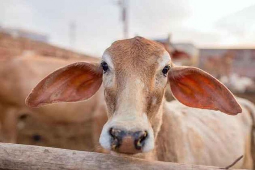 Fact Check: Centre Yet To Withdraw Notification On Cattle Sale Ban