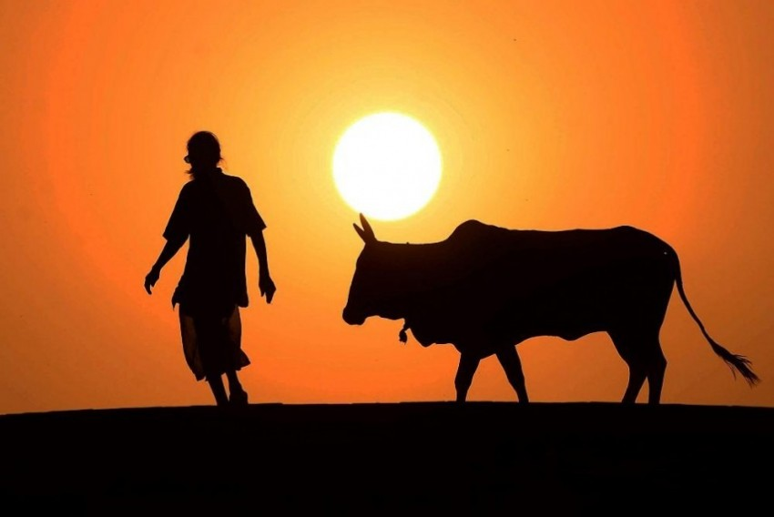 Are Uttarakhand Farmers Dumping Their Old Cows In Forest?