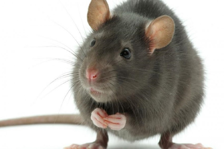 Rats Fed On Artificial Sweetener Aspartame Show Signs Of Impotence
