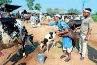 Cow Slaughter Ban: Madras HC Stay Order To Continue, Says Supreme Court