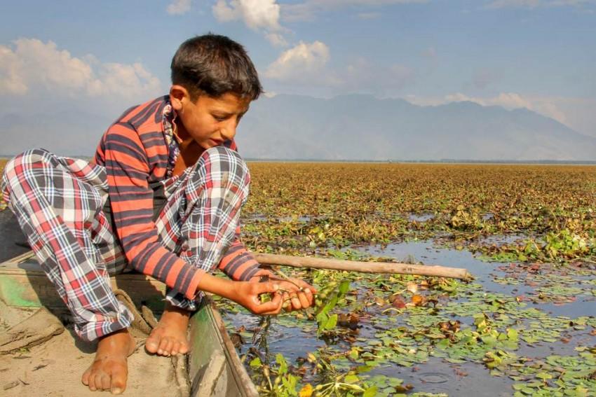 Wular Lake – The Booming Market Of Water Caltrops