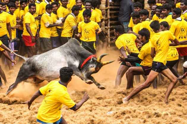 Animals Welfare Board Issues Guidelines For Conduct of Jallikattu, Says Put Bulls On Nicotine, Cocaine Tests