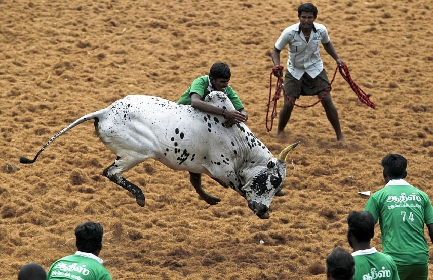 19-Year-Old Jallikattu Spectator Dies After Being Gored By Bull In Tamil Nadu