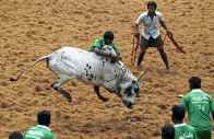 19-Year-Old Jallikattu Spectator Dies After Being Gored By Bull In Tamil Nadu