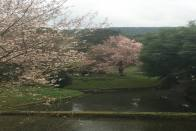 Cherry Blossoms Arrive Early In Shillong