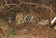 Mahaveer Dead, Sundari In Confinement: India's 'First Ever' Tiger Relocation Project Halted