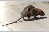 Tamil Nadu: Dead Man's Nose Bitten Off By Rat In Govt Hospital