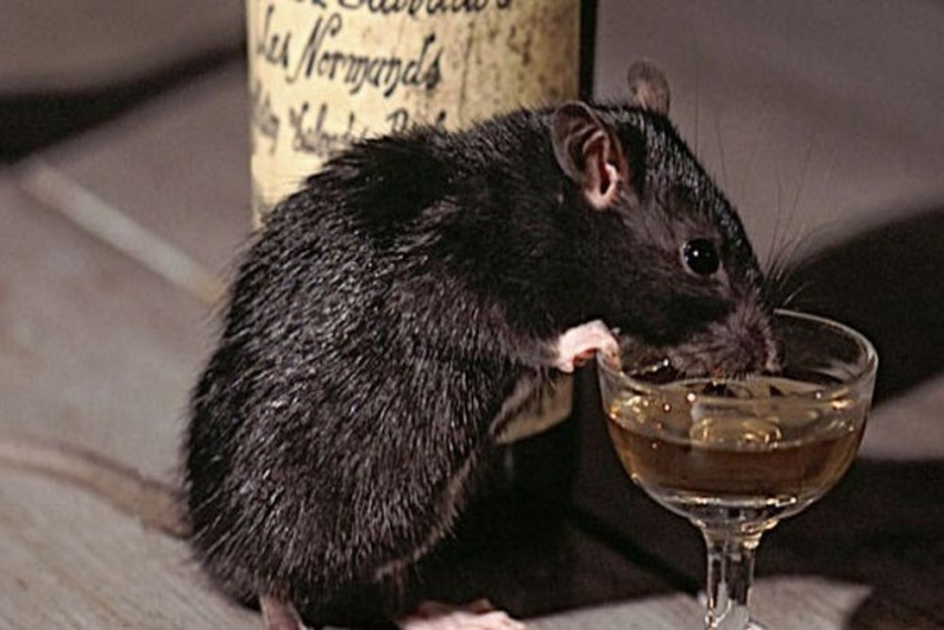 UP Police Bizarre Statement: Rats Drank 1,000 Litres Of Seized Liquor