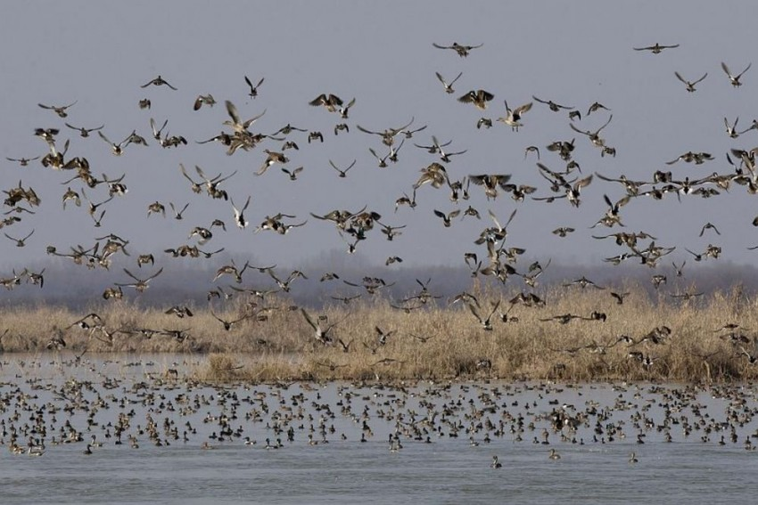 Bird Watcher's Paradise: More Than 5000 Migratory Birds Flock In Jammu's Gharana Wetlands