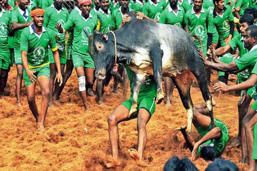 Supreme Court Refers Pleas Against Jallikattu To Constitution Bench, Formulates Five Questions