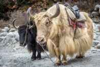 Yaks In Indian Himalayas Facing Threat Of Climate Change, Says Study