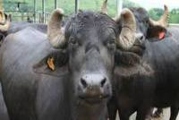 Mission Accomplished! Team Of Over 100 MP Policemen Recovers 3 Missing Buffaloes Of Ex-Congress MLA
