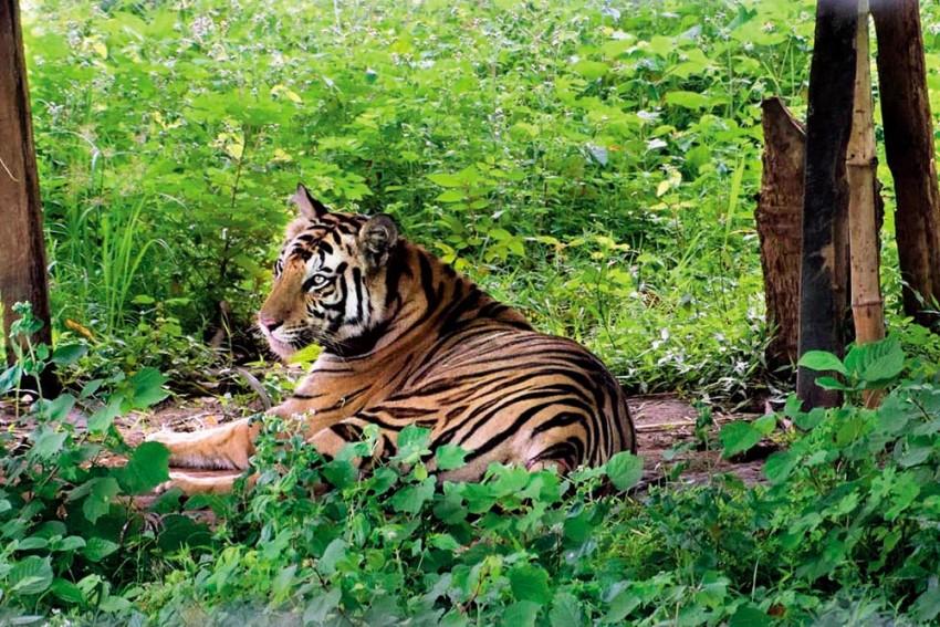 Roar Not, Fear Not: Man-Tiger Conflict Roils Part Of Odisha