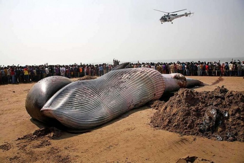 40-Feet-Long Giant Whale Washes Up Ashore In Odisha's Kendrapara District