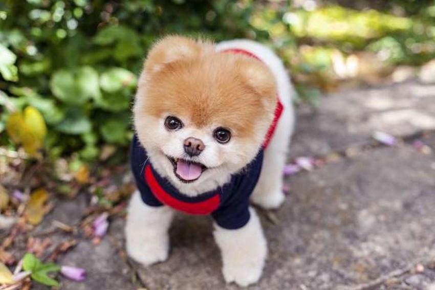 World's Cutest Dog Boo Dies Of 'Broken Heart'