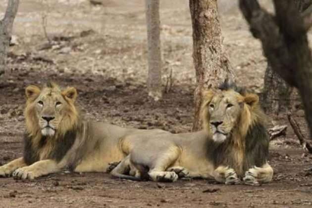 Man Mauled To Death By Lions Inside Punjab Zoo