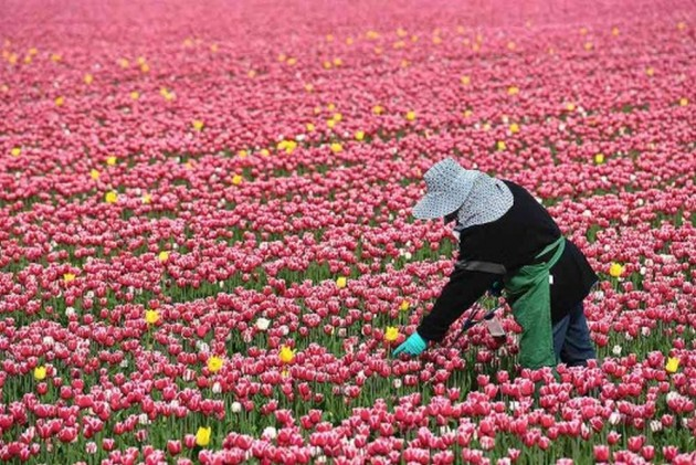 After Kashmir, Country's Second Tulip Garden To Come Up In Uttarakhand