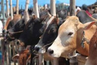 HC Directs Maharashtra Govt To Act Against Illegeal Slaughter Of Animals, Sale Of Meat