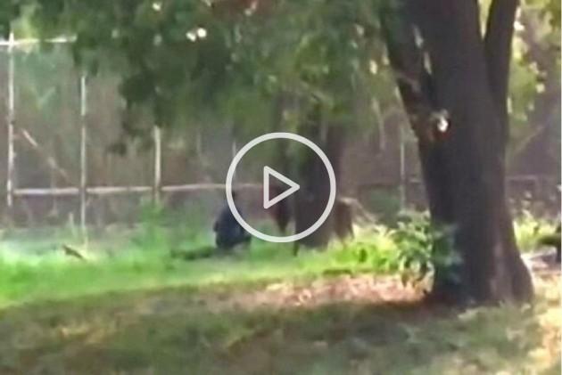 Bihar Man Jumps Inside Lion Enclosure In Delhi Zoo, Rescued