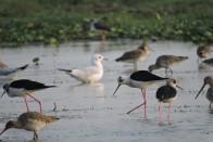 Mangalajodi: A Delight For Bird Watchers