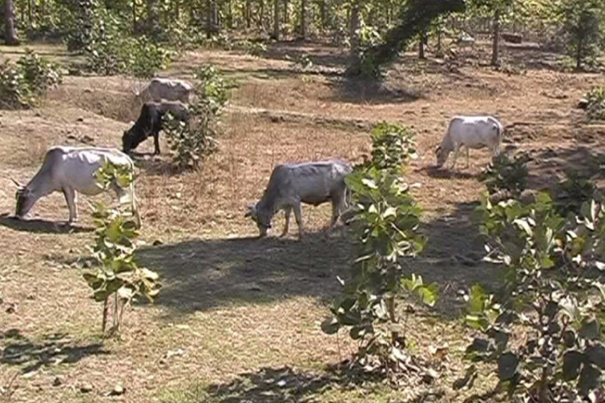 Lok Sabha Elections: In Uttar Pradesh, Stray Cattle Keep Farmers Awake And Parties Quiet
