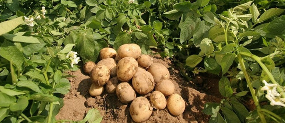 Apical Rooted Cuttings Could Revolutionize Potato Seed Production In India