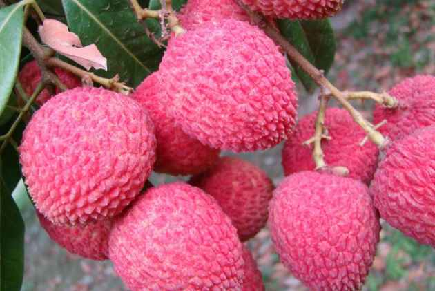 Why Litchi May Not Be Responsible For Child Deaths In Bihar's Muzaffarpur