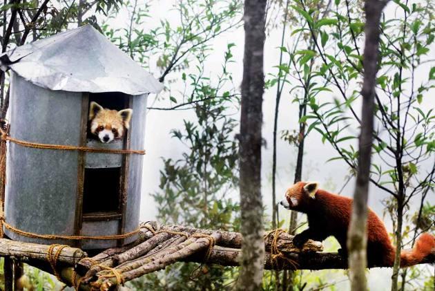 Topkeydara In Darjeeling: A Lifeline For Endangered Red Pandas