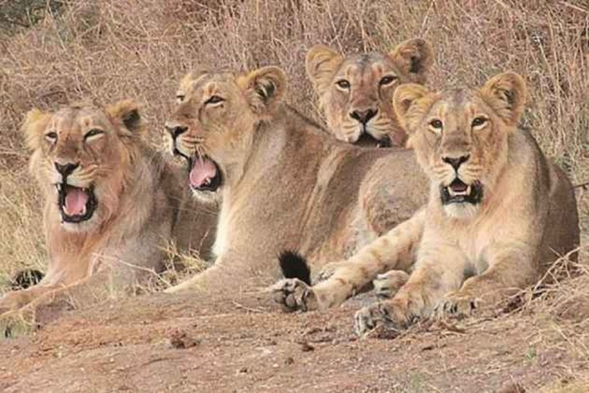 14 Lions Escape From South Africa's National Park, Public Advised To Be Alert