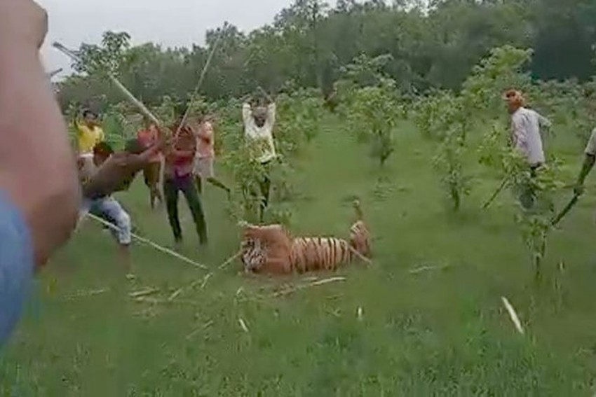 In UP, Adult Tigress Beaten To Death, Villagers Make Video With Commentary