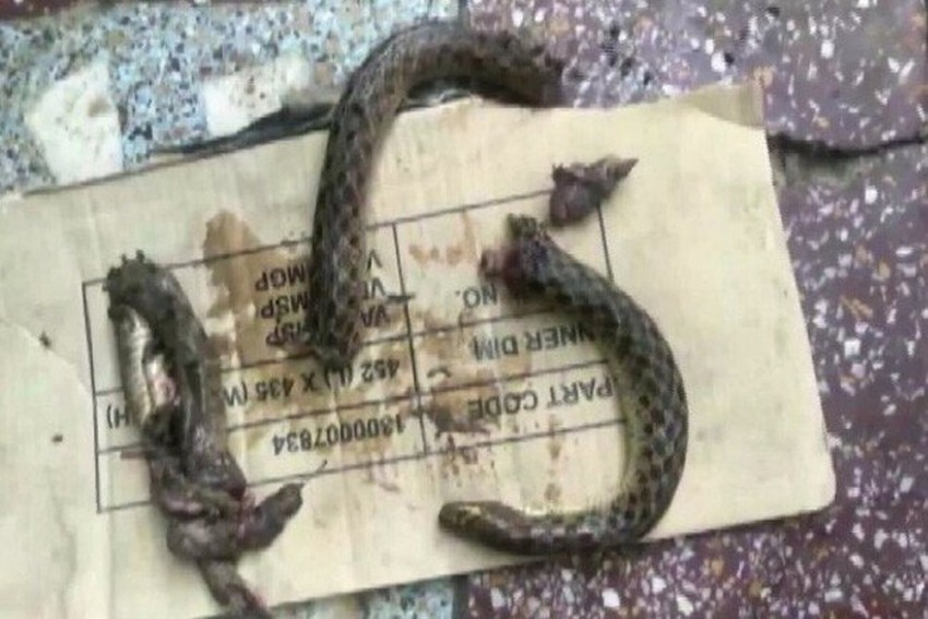 Drunk Man Bites Snake Into Pieces In UP's Etah After Being Bitten By It