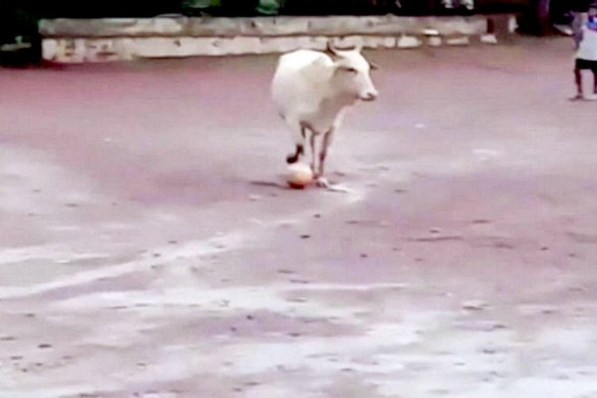 WATCH: Video Of Cow Playing Football Goes Viral On Social Media, People Cheer For 'Rising Football Star'