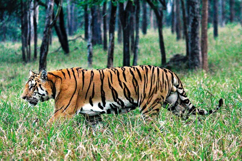 Far From Roaring Success, Odisha's Tiger Conservation Falls Flat