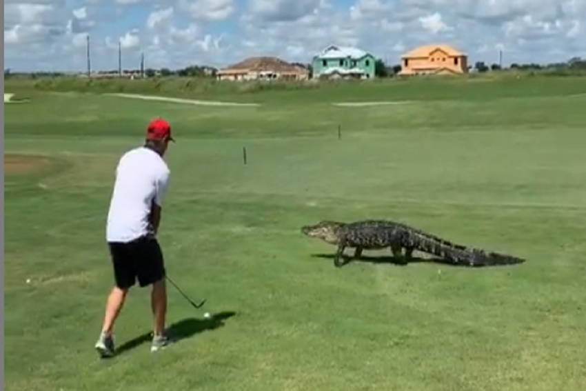 Watch | Florida Golfer Continues With His Game As 7-Feet Alligator Strolls Casually Next To Him