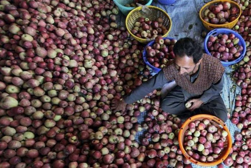 Kashmir Lockdown: Govt To Procure Apples Directly From Growers After Farmers Complain Of Losses