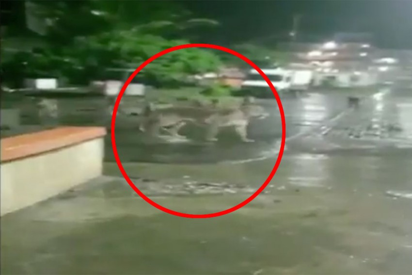 Seven Lions Take Over Road In Gujarat's Junagadh. Video Goes Viral