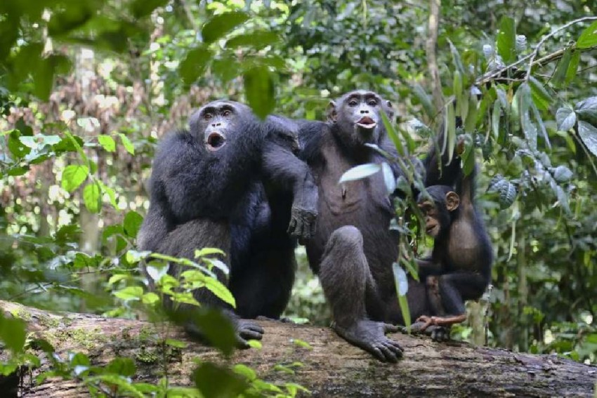 In A First, ED Attaches 3 Chimpanzees In Money Laundering Case In Bengal