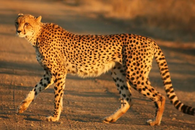 SC Allows Centre To Bring African Cheetah To Suitable Wildlife Habitat In India