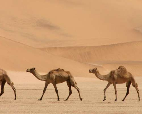 Snipers To Cull Up To 10,000 Camels In Drought-Stricken Australia