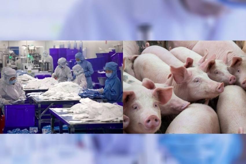 Scientists Reveal Potential Threat Of Swine Coronavirus From Animals To Human